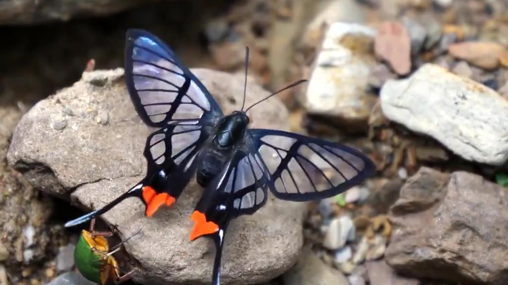 摄影师pedromariposa镜头下拍摄到的红臀凤蚬蝶