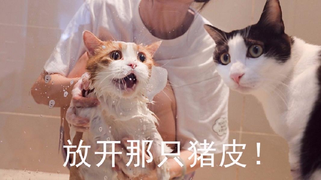 猪皮猫被拖去洗澡,分哥急得嗷嗷叫,浴室差点拆掉!