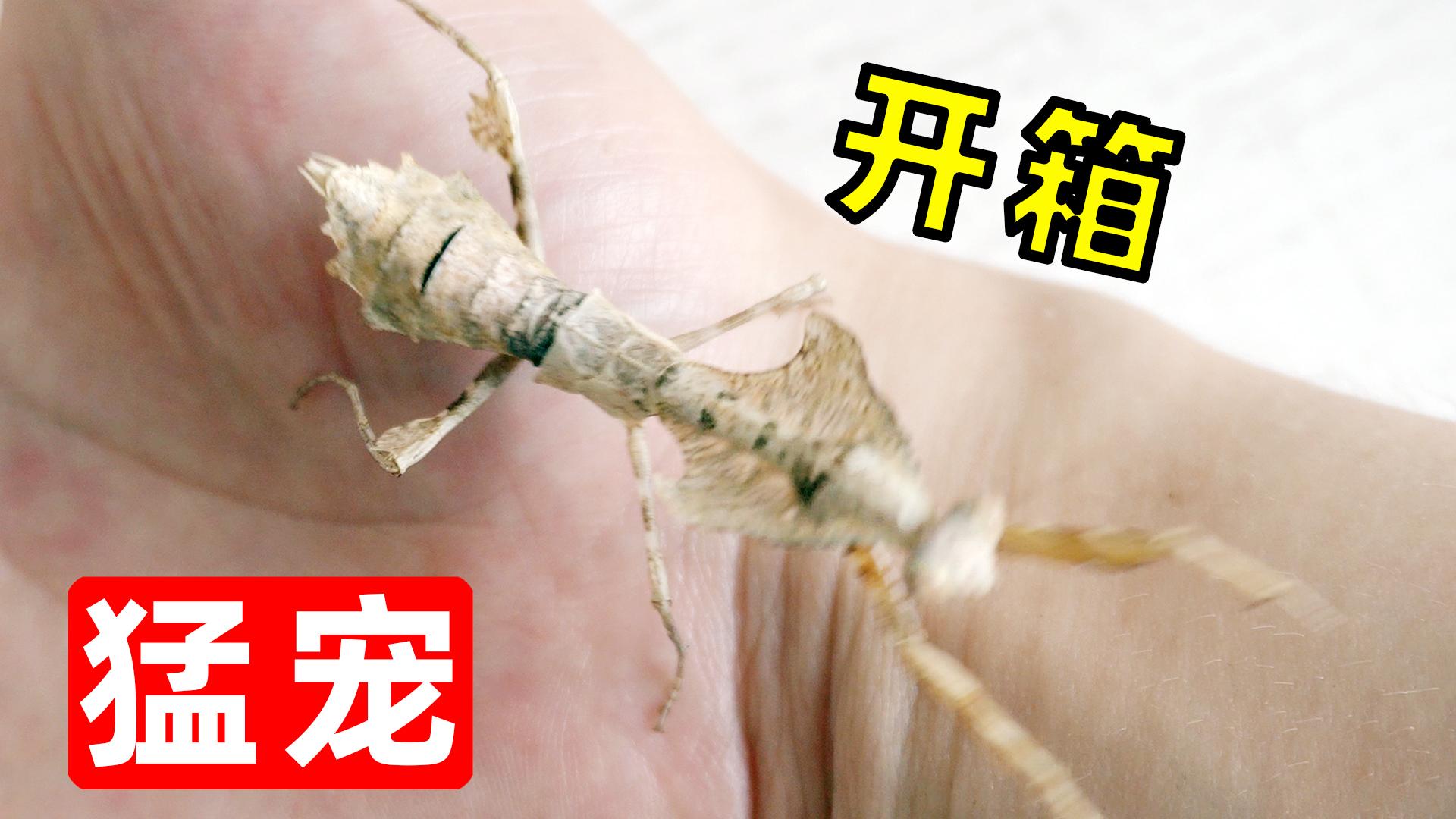 开箱120元网购的螳螂,捕食蟑螂很凶猛!