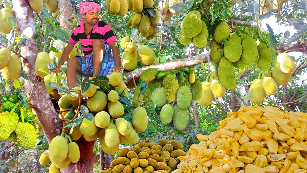 印度人如何吃菠萝蜜 ? 印度村民摘了很多菠萝蜜看看他如何吃法!