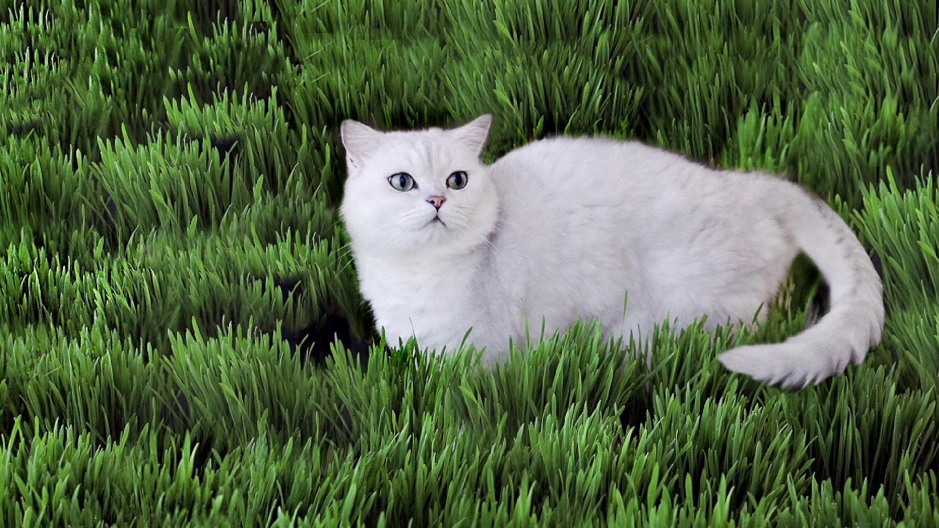 猫草疯长一屋子,5只猫轮番上阵,吃到打嗝~