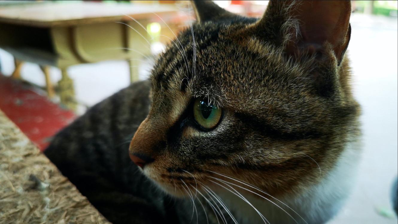 农村大院猫第一次进城适应生活,结果成爬行动物了!