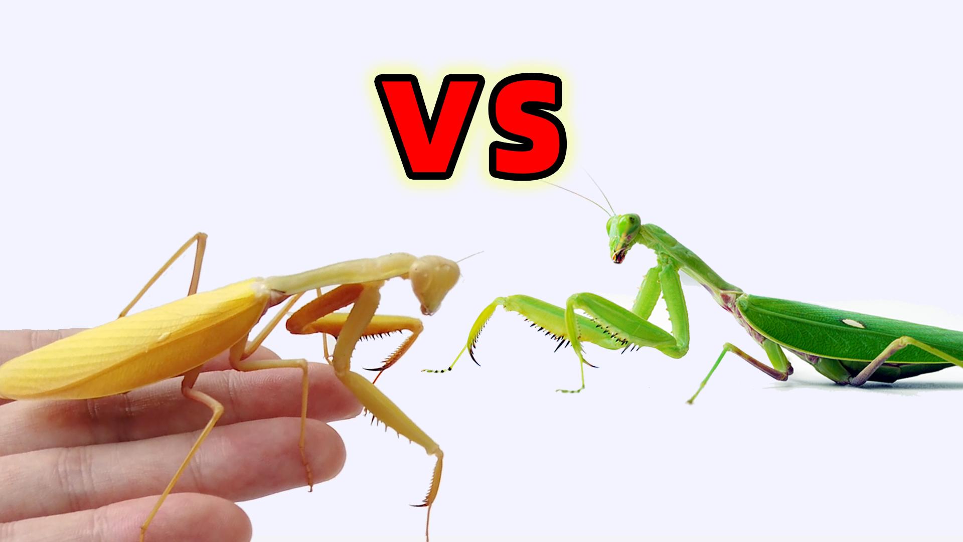 金色亮斧螳VS绿色螳螂,一场荣誉捍卫战!