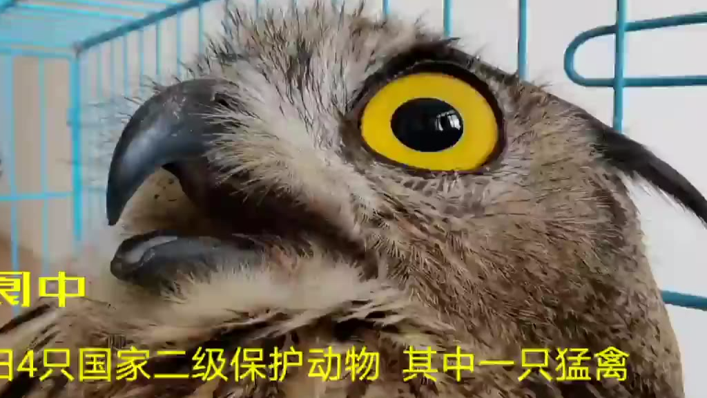 【今日傻鸮】阆中:放归4只国家二级保护动物  其中1只雕枭是猛禽
