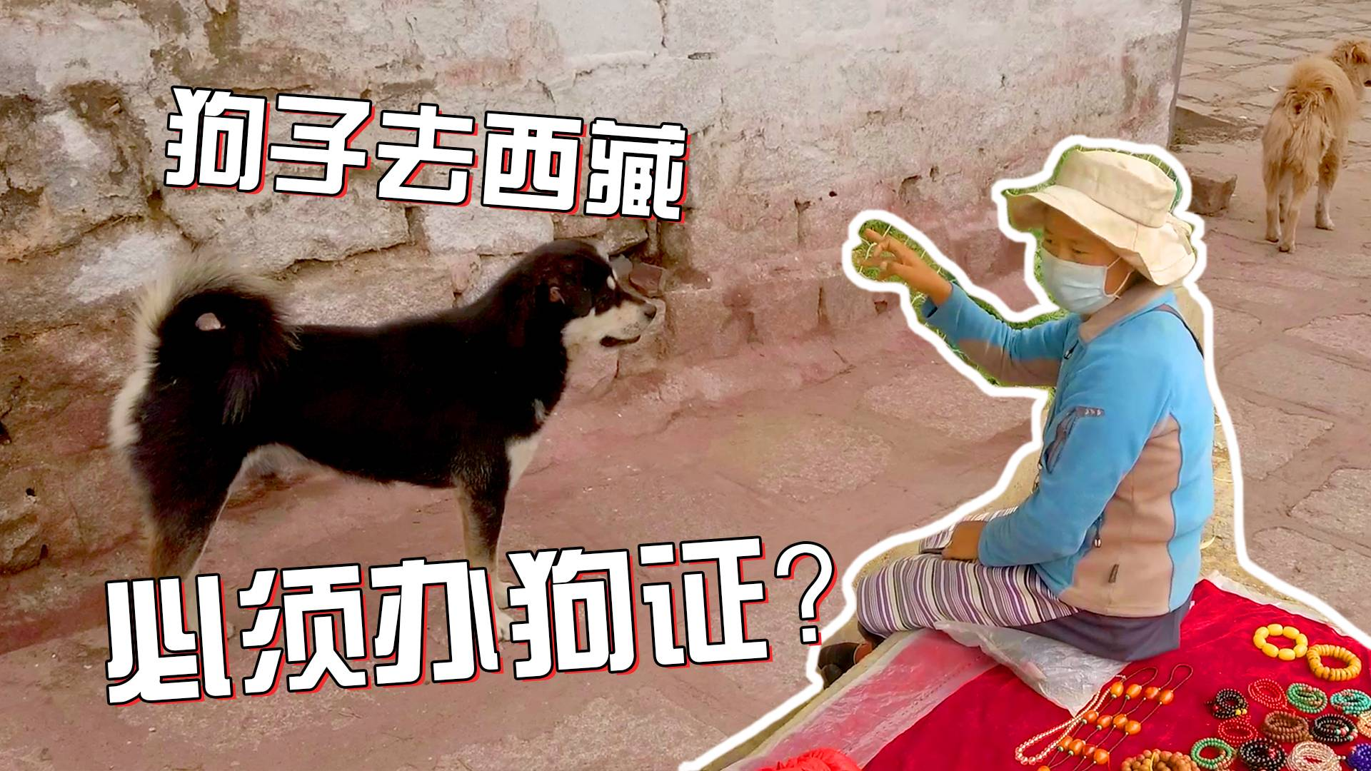 在拉萨色拉寺后山全是流浪狗,没有办理狗证真的不能来西藏吗?