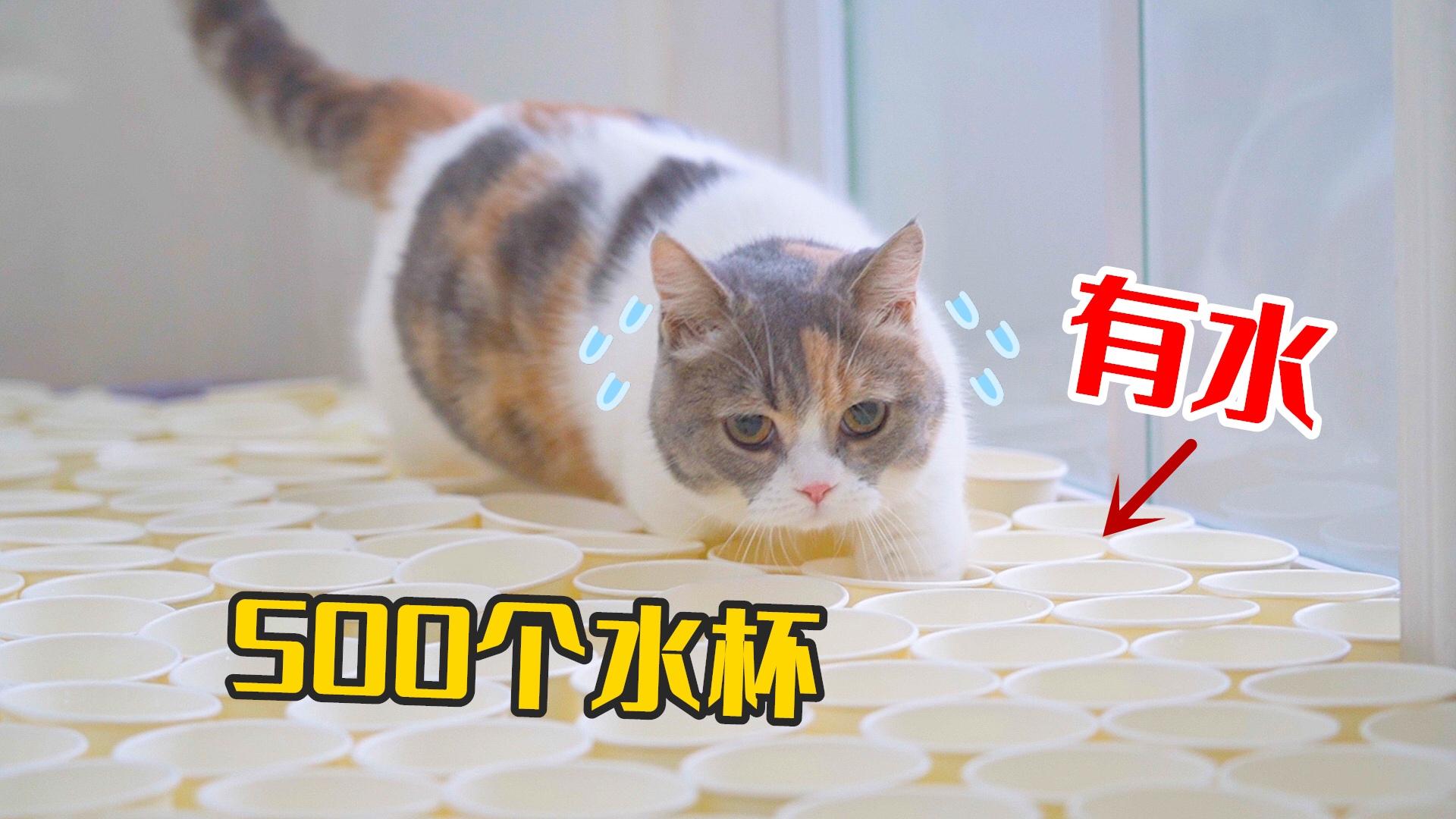 500个杯子堵住猫咪去路,猫会怎么做?猫:杯里有水!