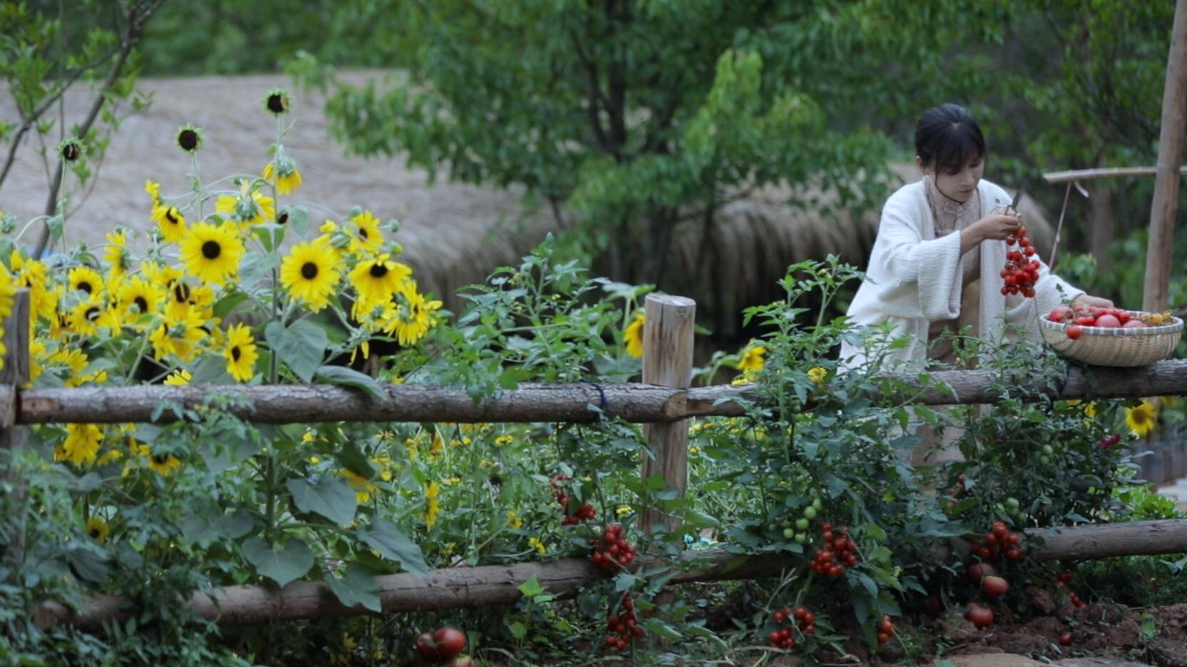 泥土地里肆意的生长!小苗苗结出大果实——番茄的一生