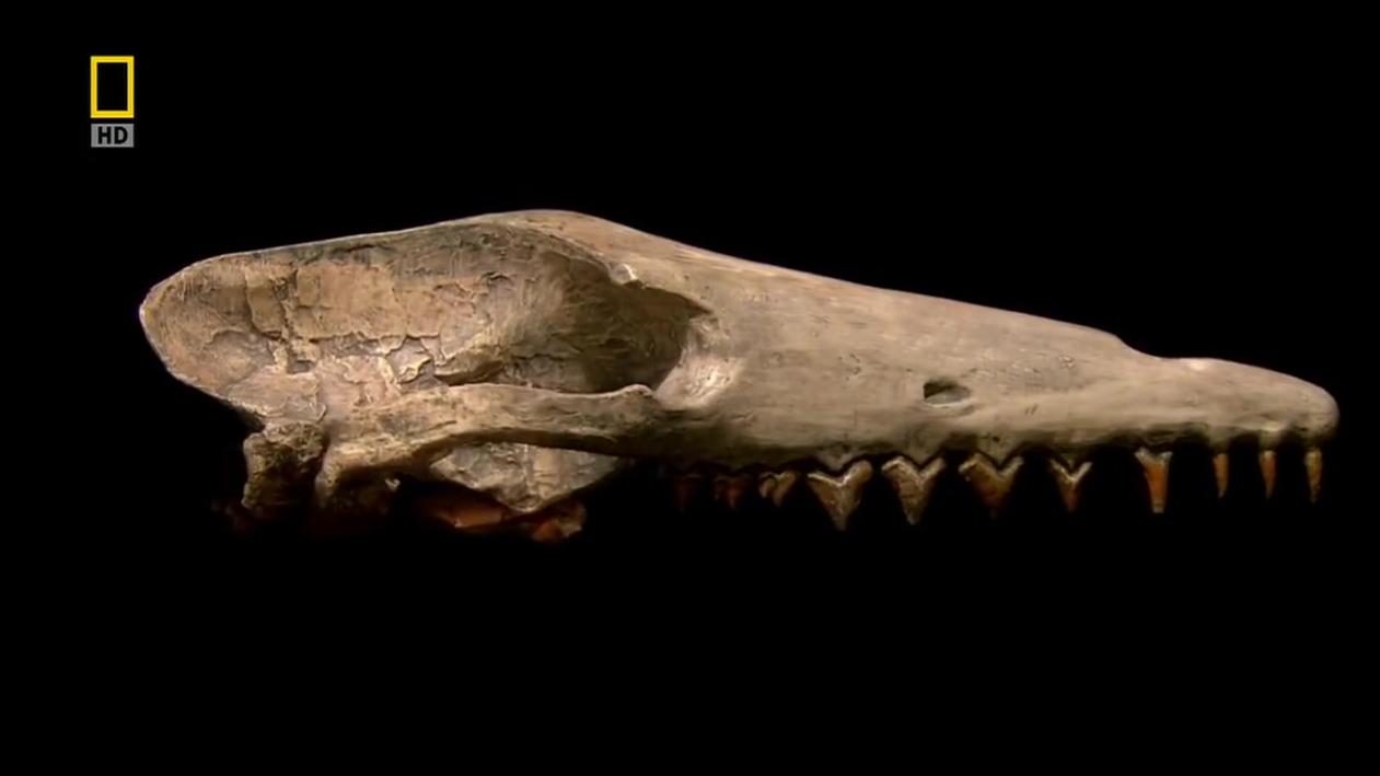 演化足迹 鲸的演变之谜