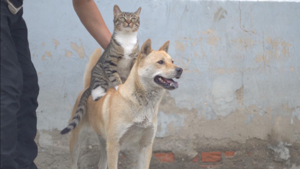 特种猫钢镚要征服狗类,让大黄狗当座驾。
