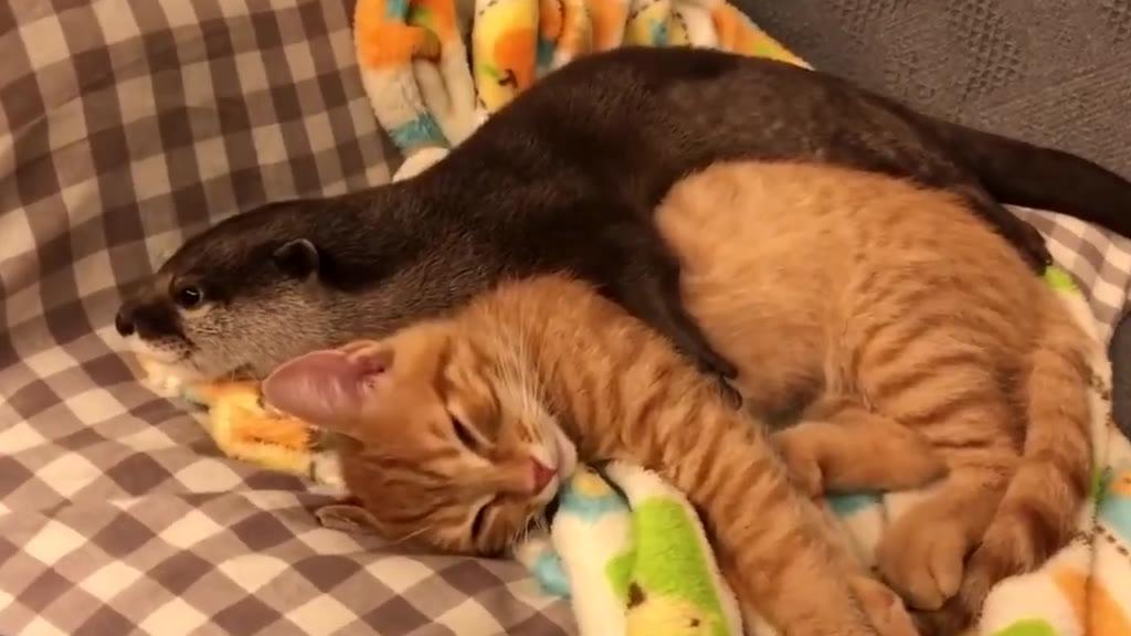 网友有一只小水獭,每天必须要抱着猫咪才能安心睡觉,简直被它们萌化了