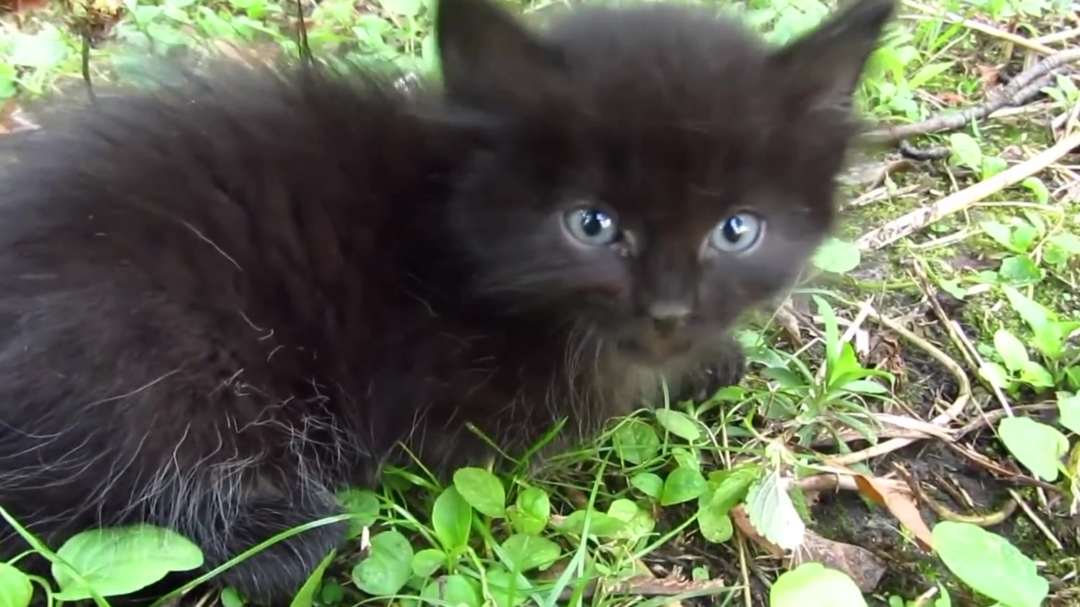 网友偶遇一只蓝眼睛小黑猫,吃了几口猫粮以后就乖乖任撸了