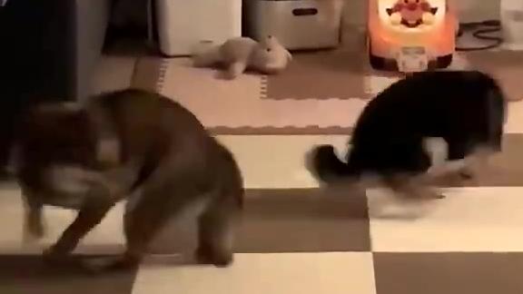 """两只柴犬深夜""""斗舞"""""""