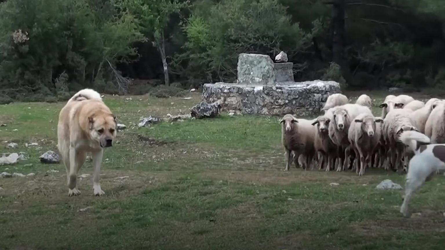 【透视眼】一只牧羊犬如何放养数百只羊?