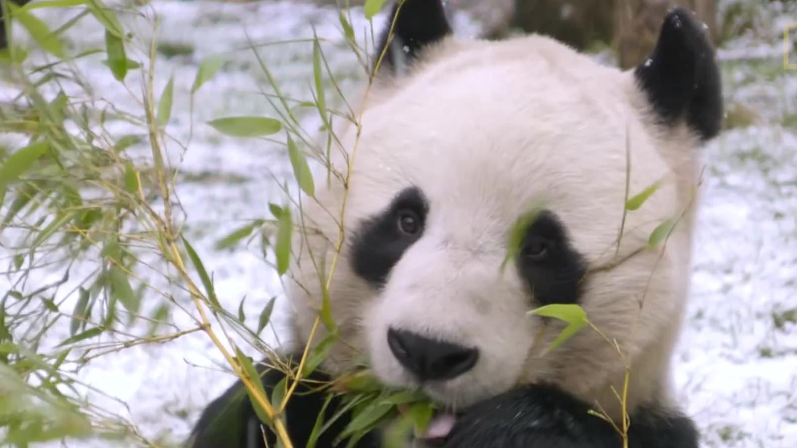 【透视眼】什么?熊猫每天要100次便便?明明是食肉动物,为什么熊猫要吃竹子呢?