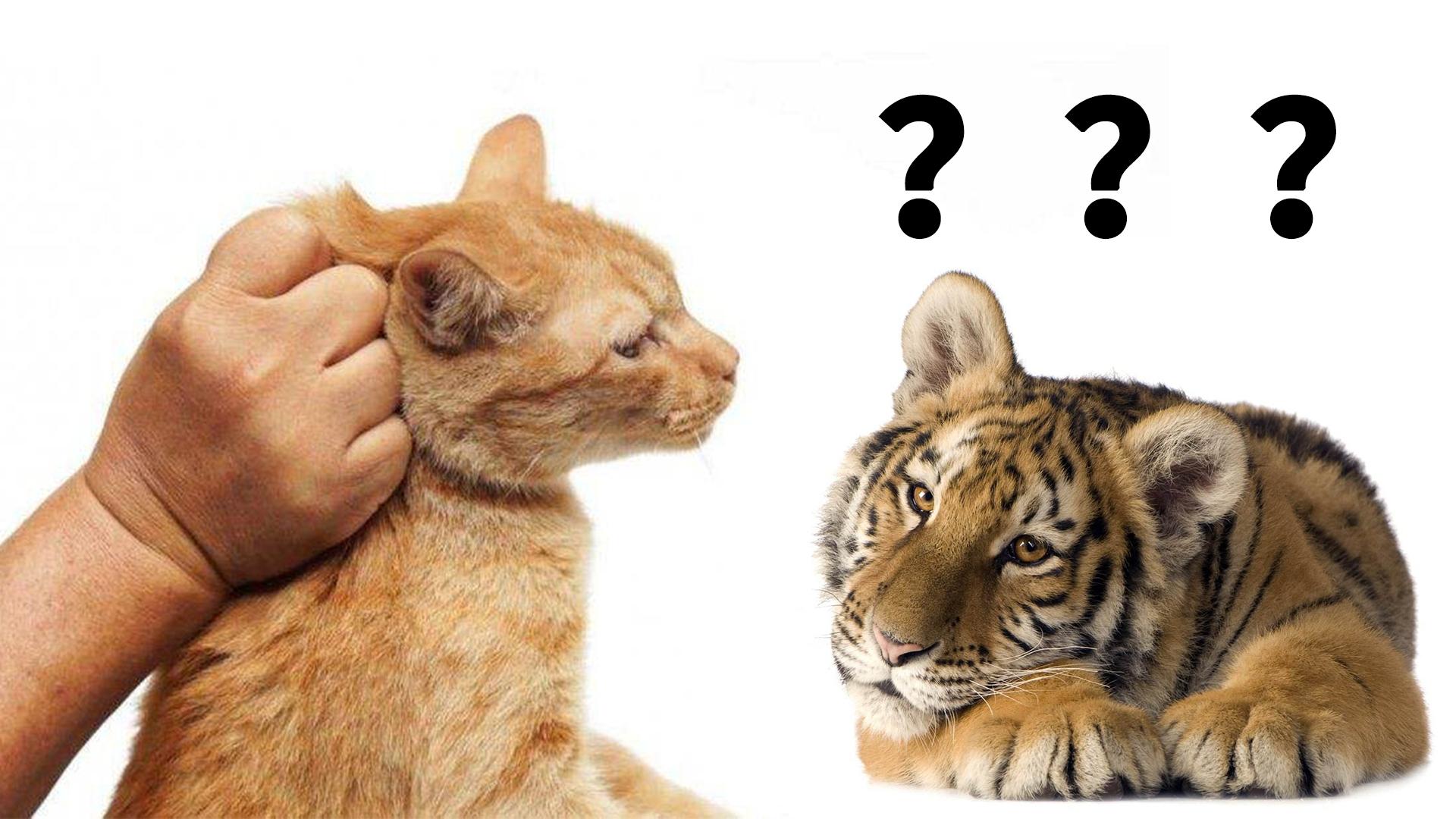 捏住老虎后颈肉,它会像猫咪一样变乖吗?