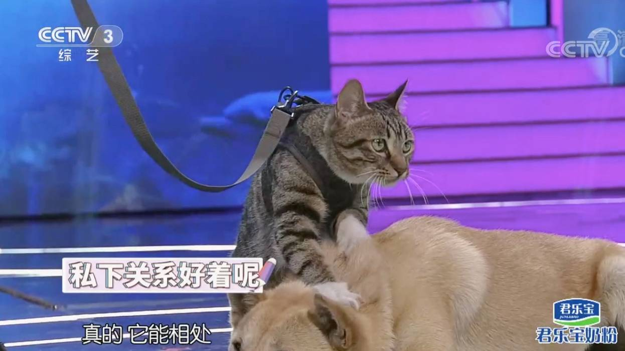 朱迅首次搭档宠物明星大黄搭戏,大黄和钢镚很配合采访录制(央视完整版,稍做调整)