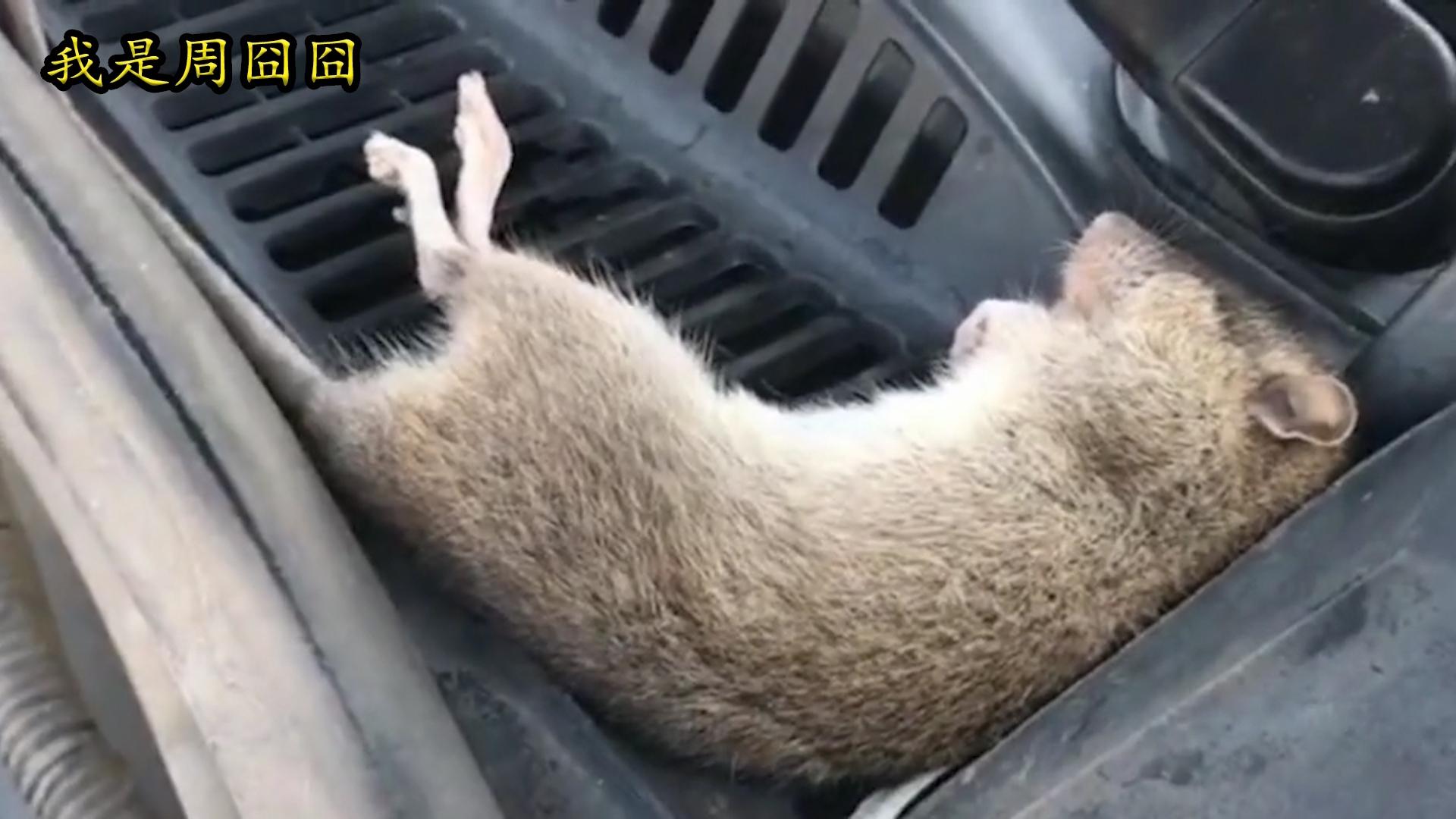 老鼠:别叫了,不就睡你引擎盖吗!