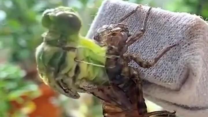 金蝉脱壳见多了,这水虿(chài)脱壳变蜻蜓还是第一次见