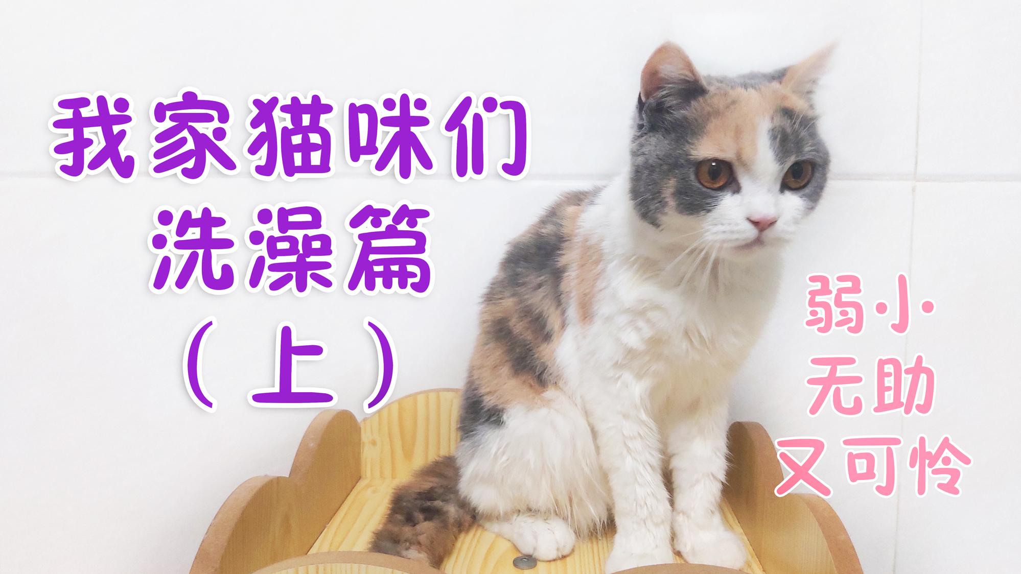 【超A新生计划】我家猫咪洗澡真乖~三花猫叫糯米糍哦!
