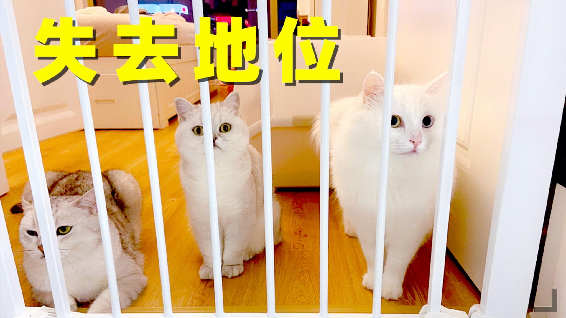 养猫五年第一次养狗,猫咪逐渐被遗忘,狗儿子地位上升