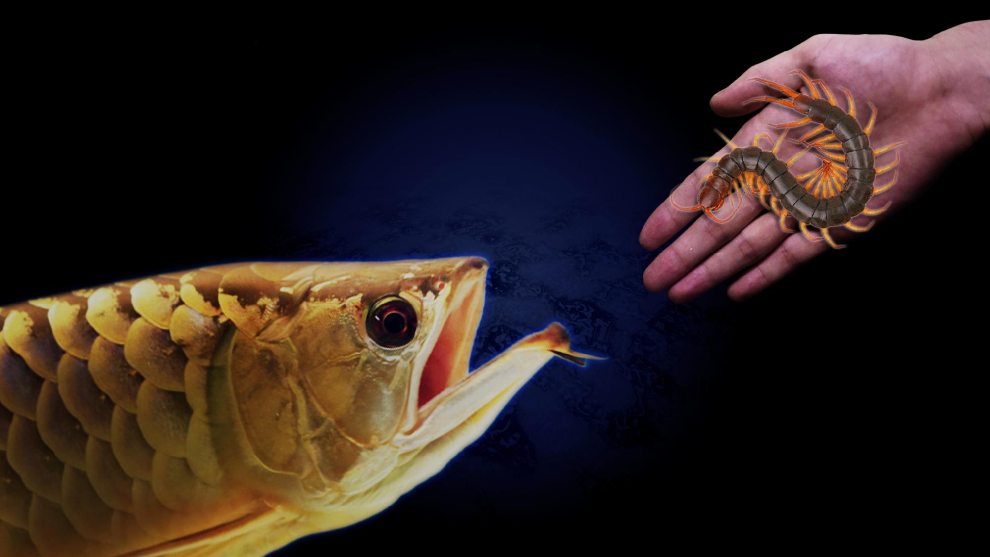 巨大的活蜈蚣,喂给性情残暴的龙鱼
