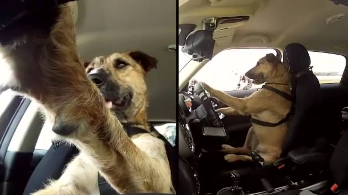 世界上首只会开汽车的狗,8星期学会独自驾驶,真是人快不如狗了