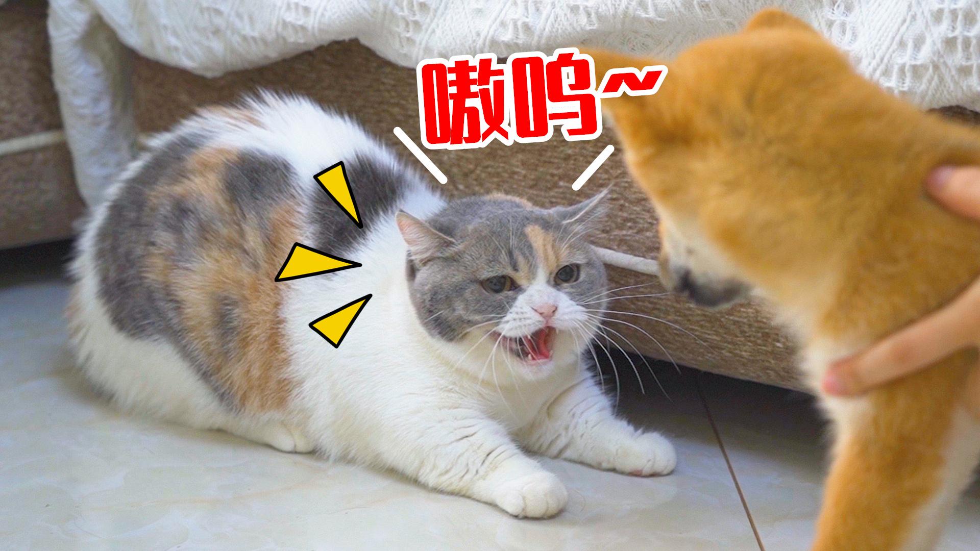 小柴犬刚来新家,就惨遭4只猫暴打,太惨了!