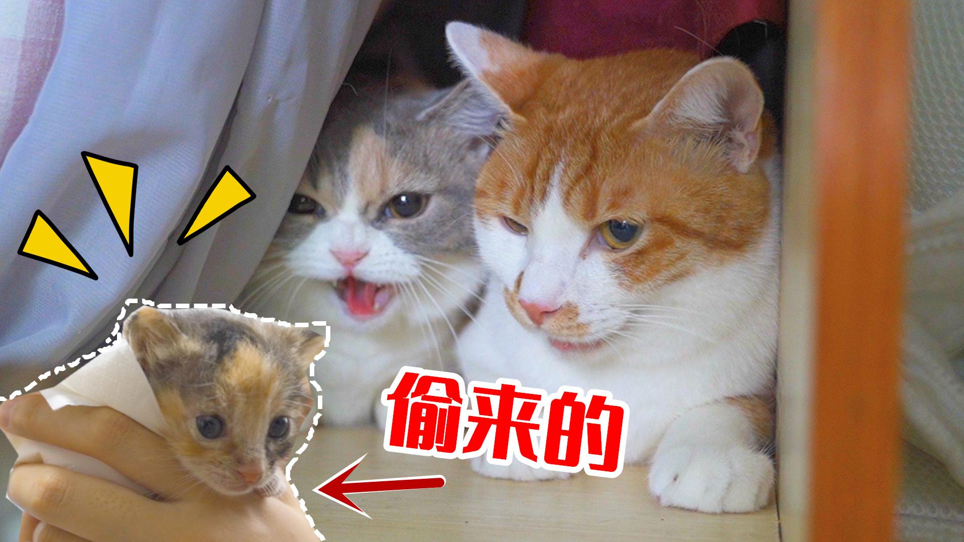 主人趁母猫不在,偷走小奶猫给家里公猫当孩子!