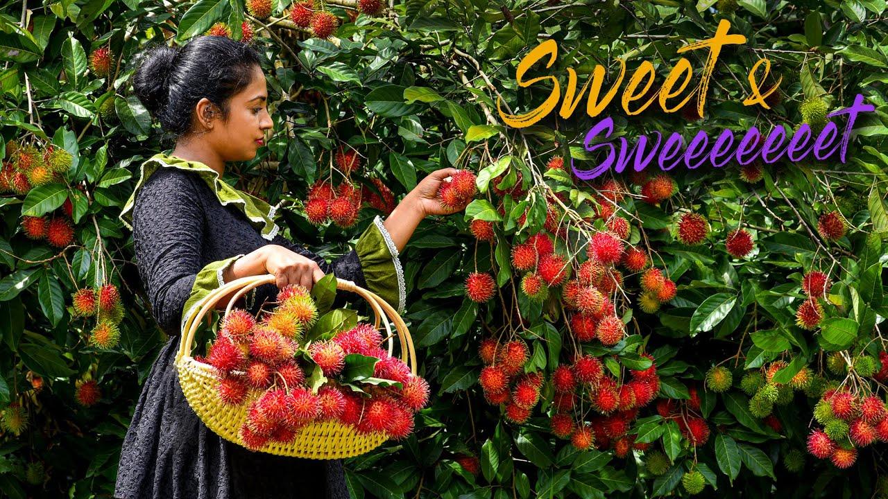 印度农村的红毛丹陆续成熟了,印度人竟然是这样吃法!