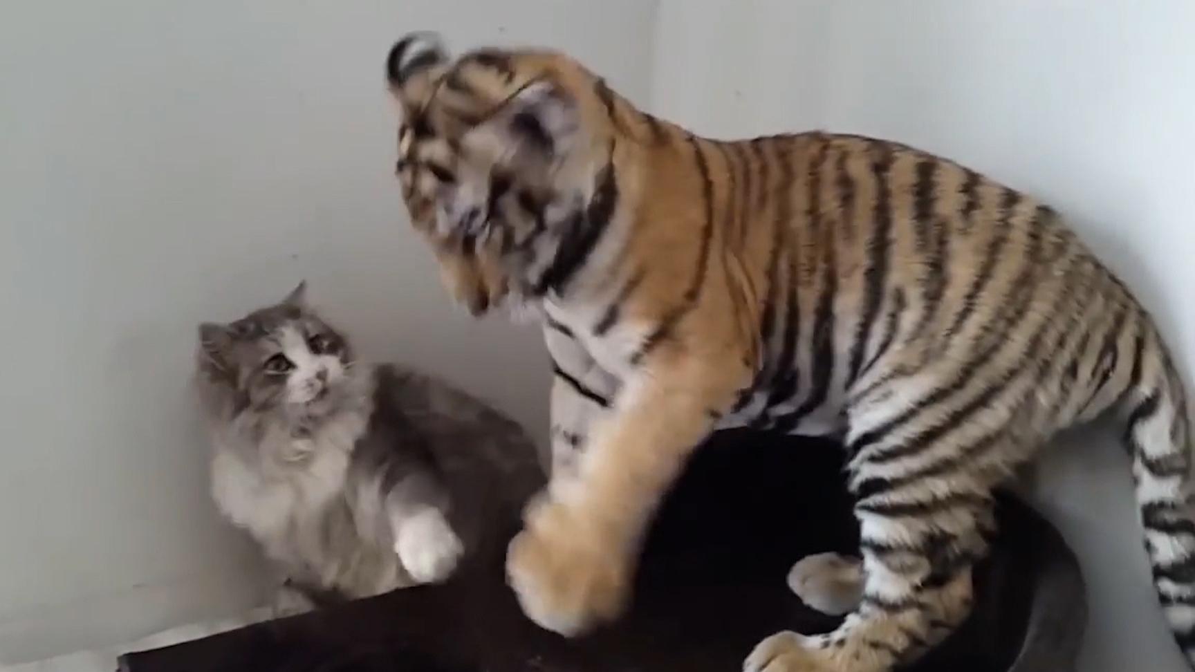 猫咪什么都敢打