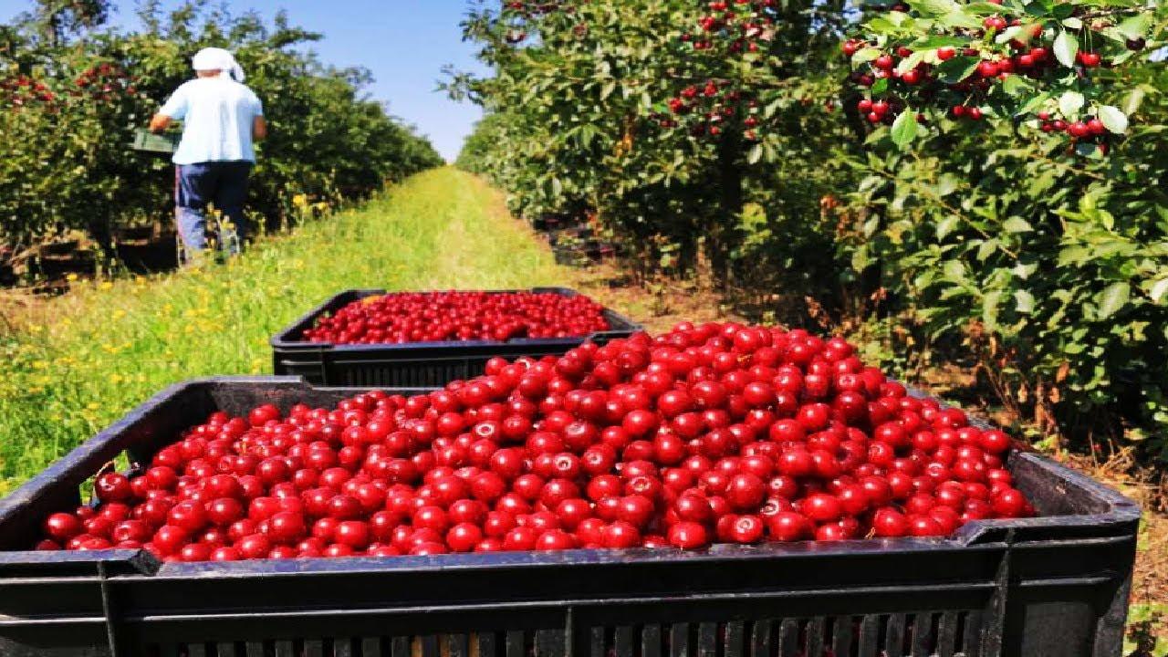原来我们平时在超市购买到的樱桃是这样收获和分级的,樱桃收获分级全过程!