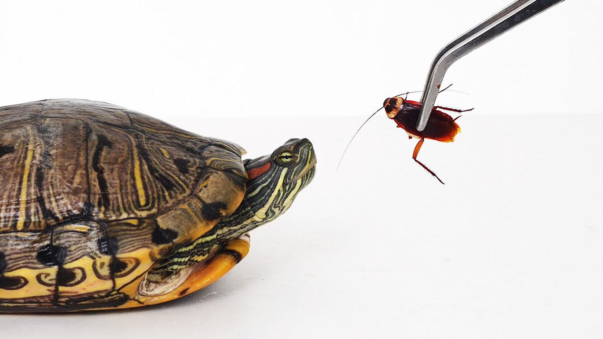 把蟑螂喂给巴西龟,直接被碎尸万段,太惨了!