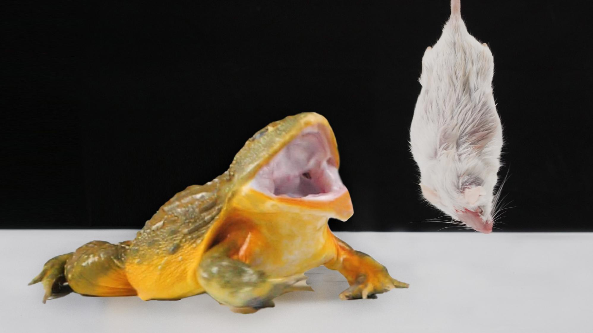 当吞噬一切的巨型非洲牛蛙遭遇小白鼠