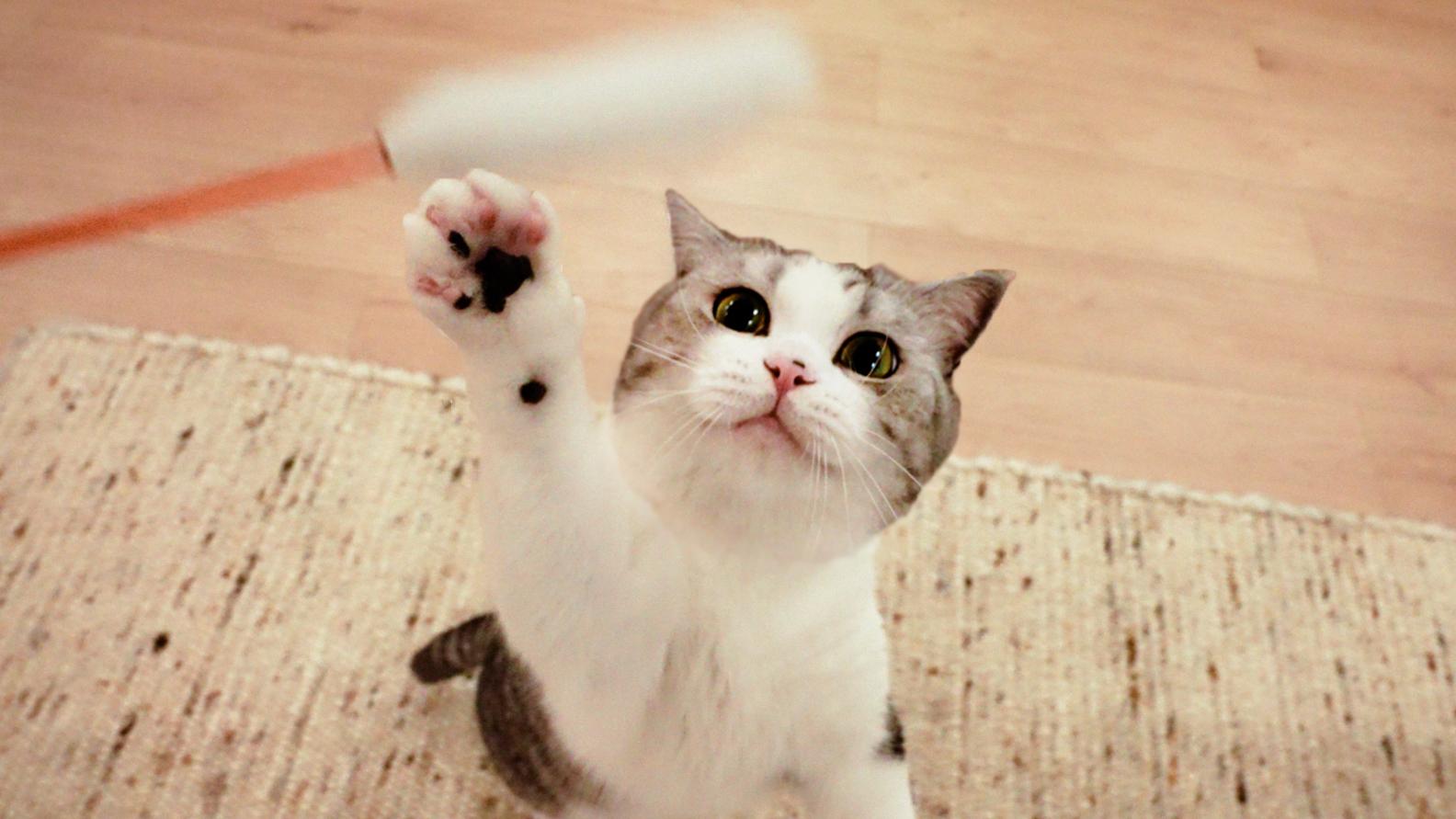 家里装修地板,5只猫被关一天,憋疯了出来就嗨翻!