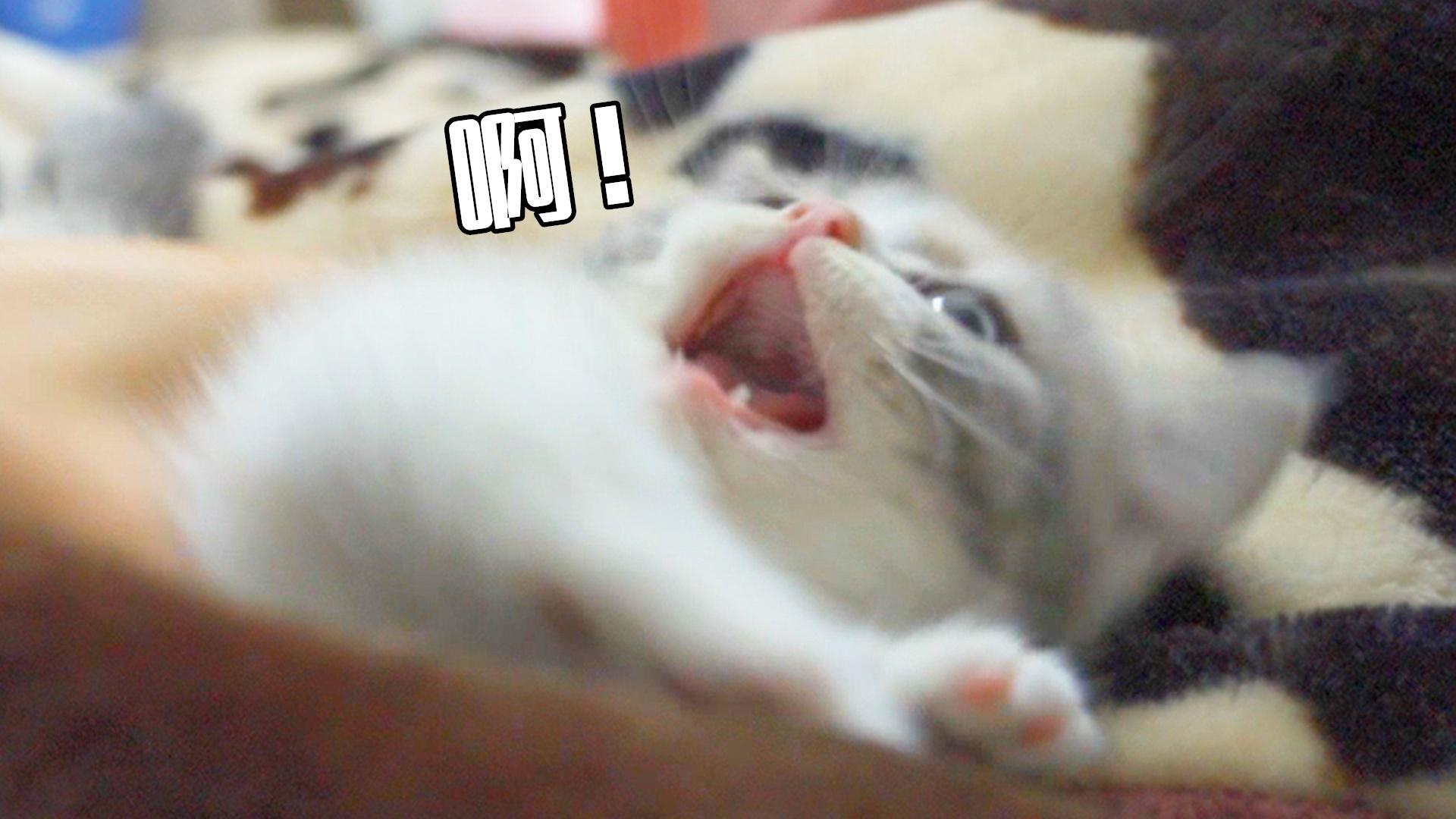 小奶猫的脾气这么大吗?一碰就要打人,好凶!