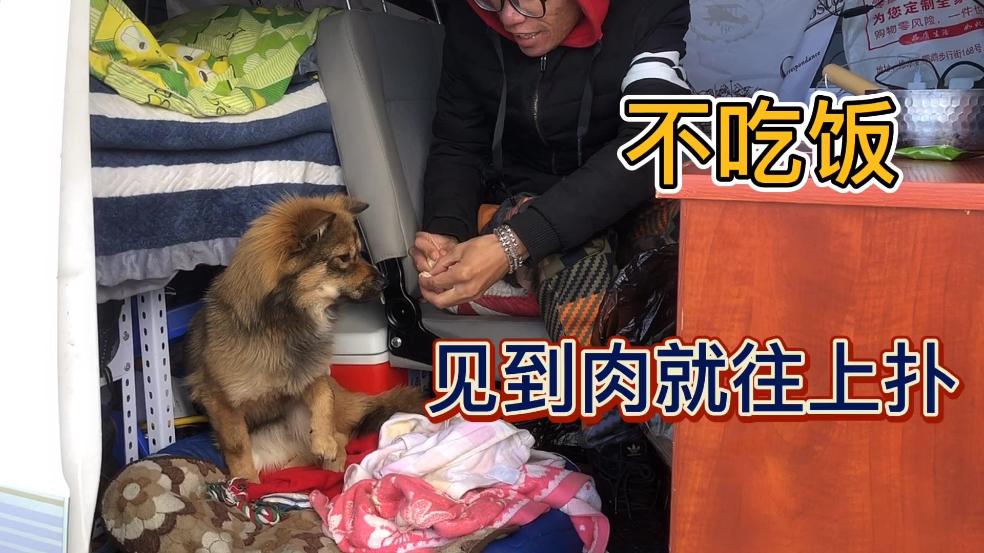 带的土狗自驾西藏高反食欲不振,煮鸡腿给它补,结果它是骗我的