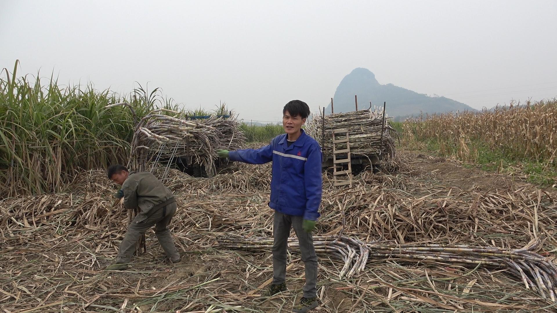 农村很多人都外出打工,在家种甘蔗到底赚不赚钱,看小明怎么说