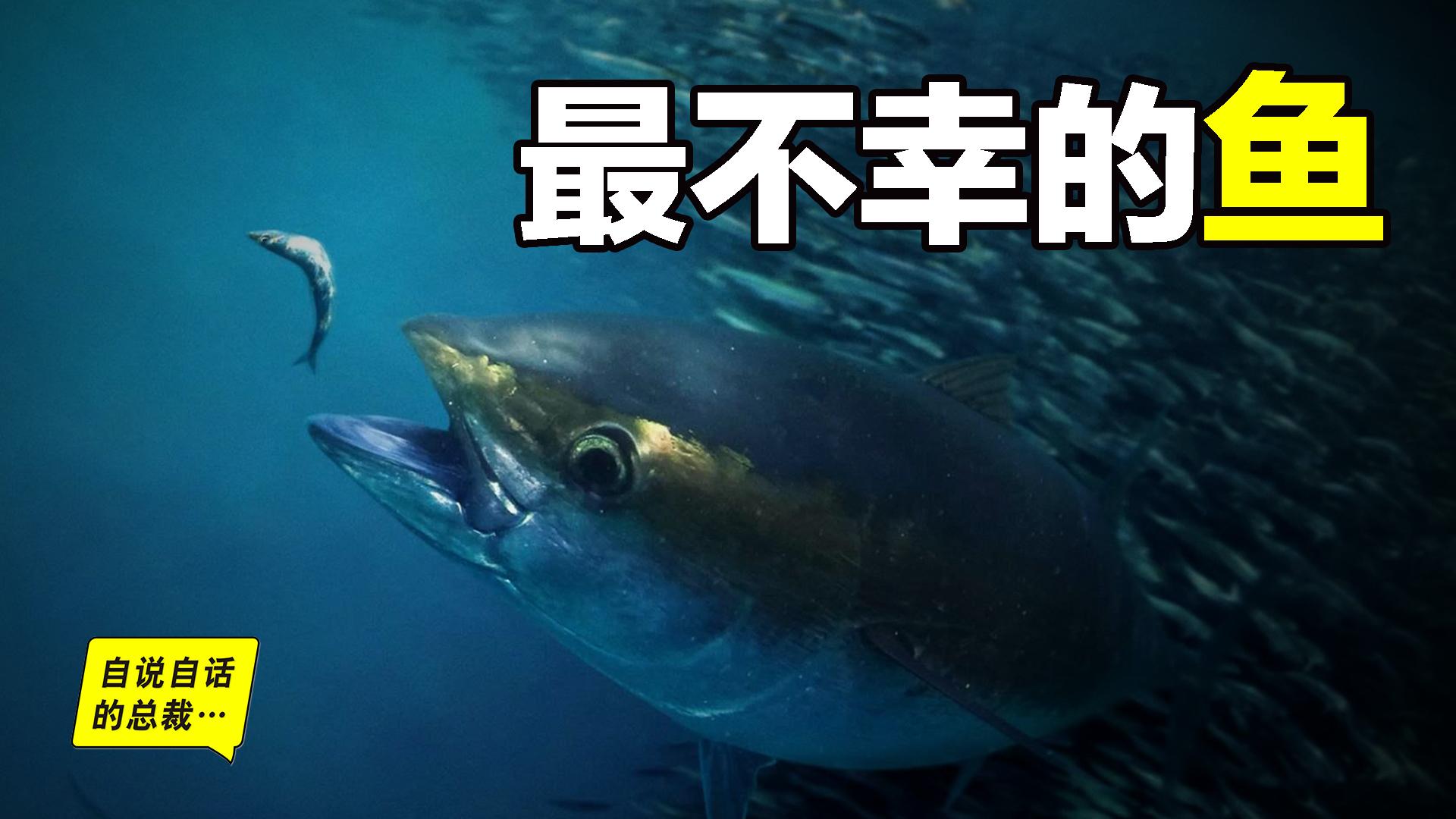 30年前只能做猫粮,今天为何变成奢侈品?蓝鳍金枪鱼为何如此贵?