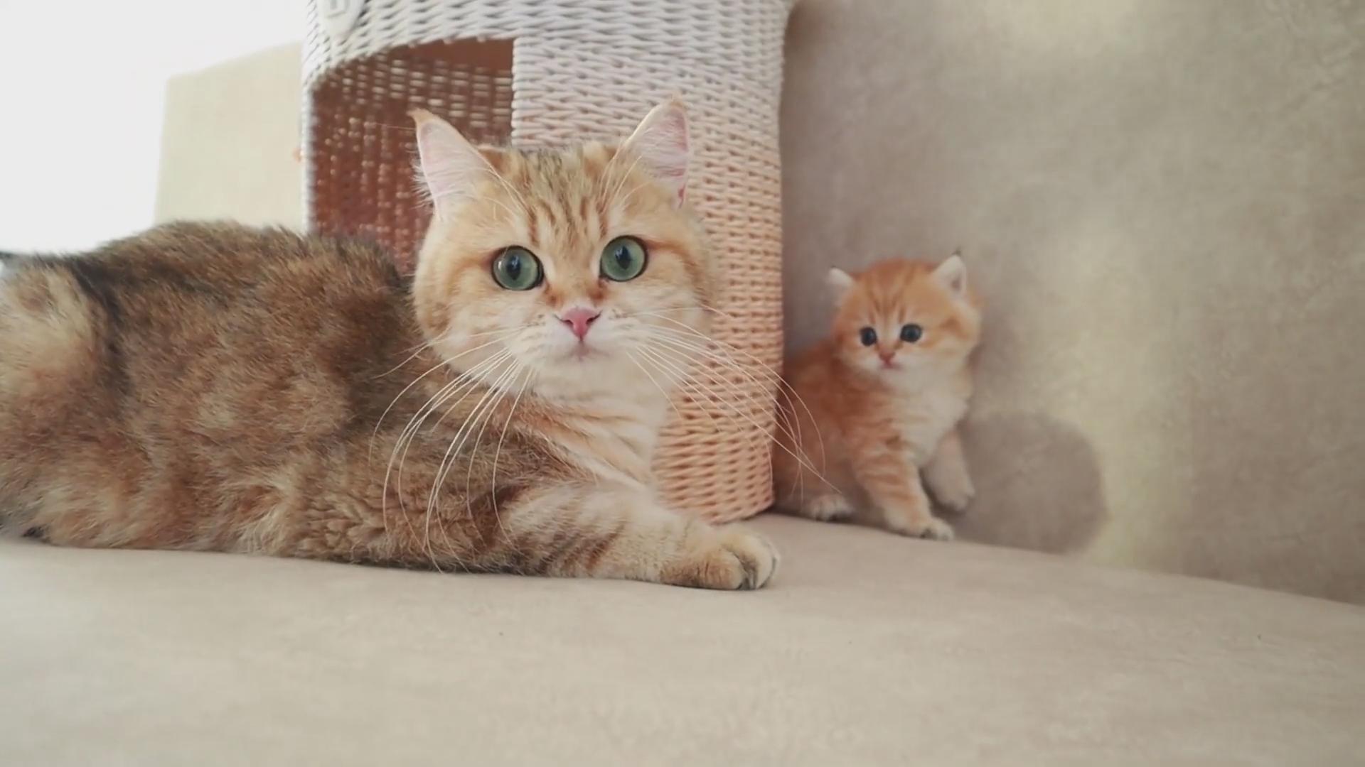 小奶猫和猫妈妈一起玩耍