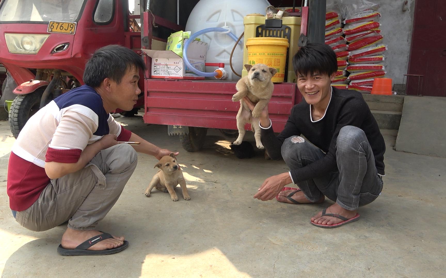 小明陪老表进山买狗,发现一农户的5只田园犬,其中一只太霸气了