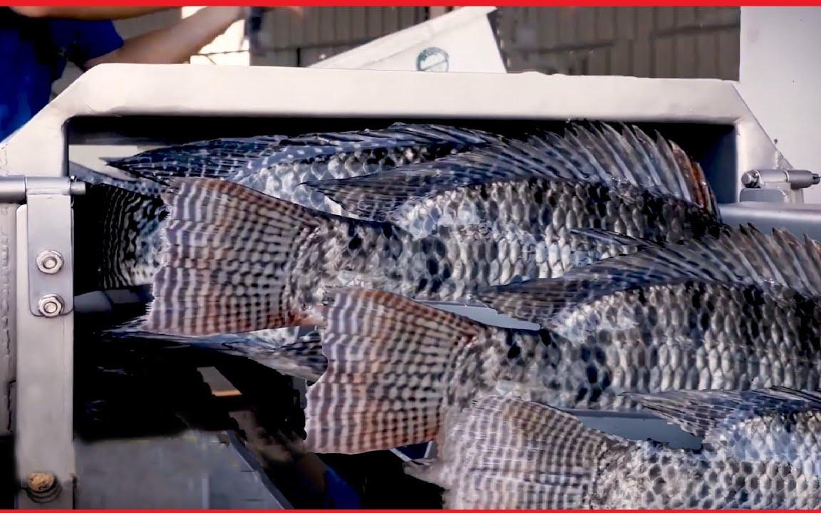 惊人的罗非鱼养殖场 - 罗非鱼捕捞技术 - 自动鱼加工生产线机