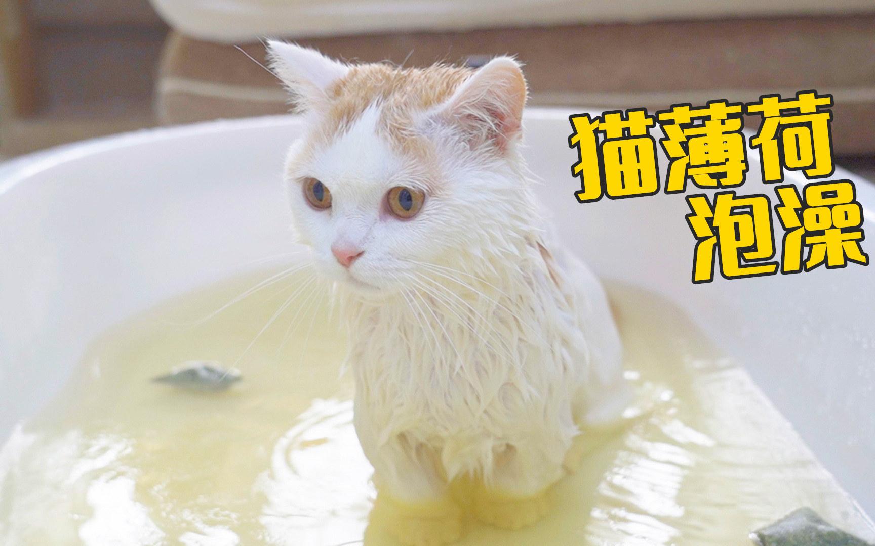 用猫薄荷给猫洗澡,猫居然定住了,好享受!