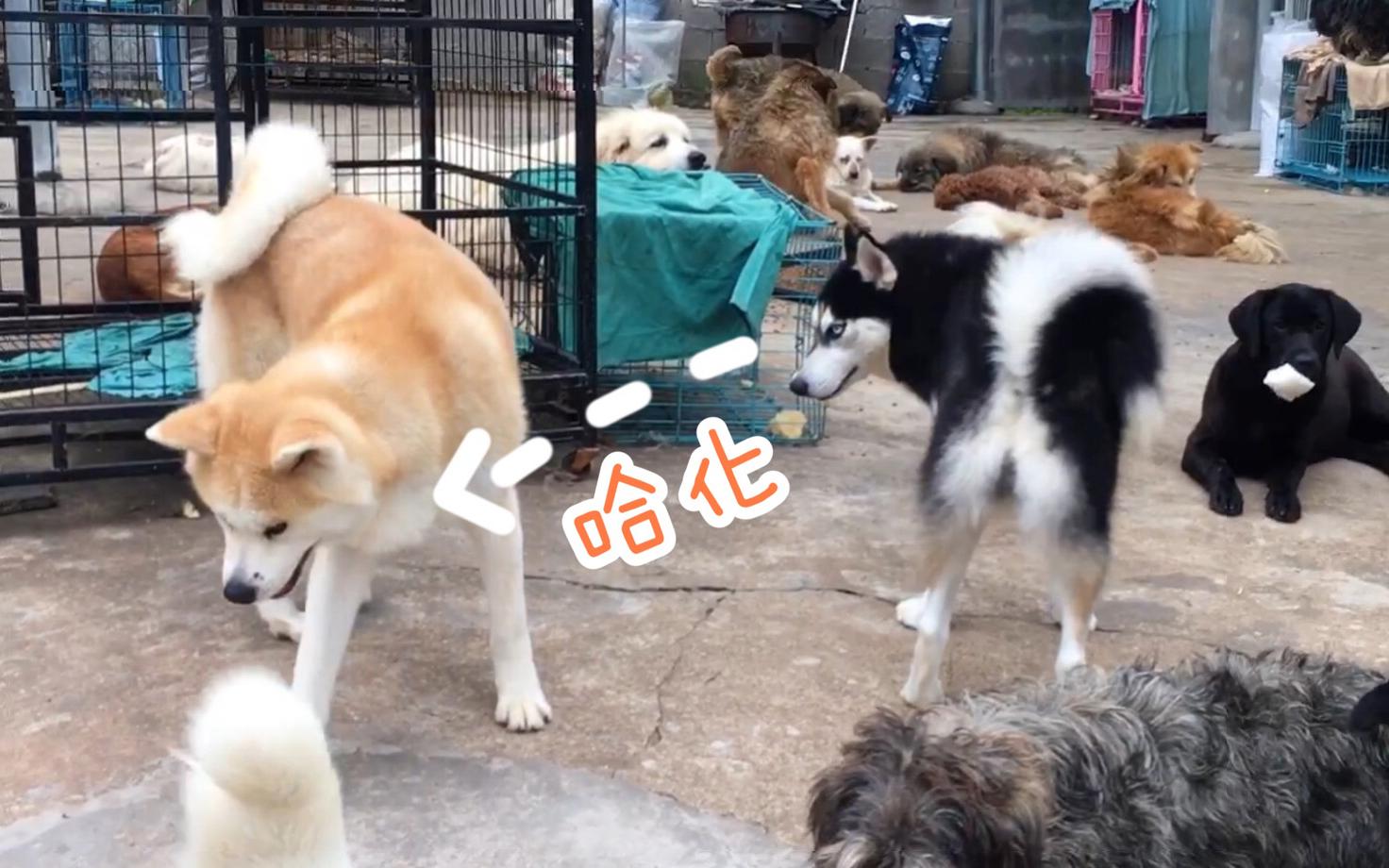 秋田犬颜值高,却有点傻乎乎的,大可爱!