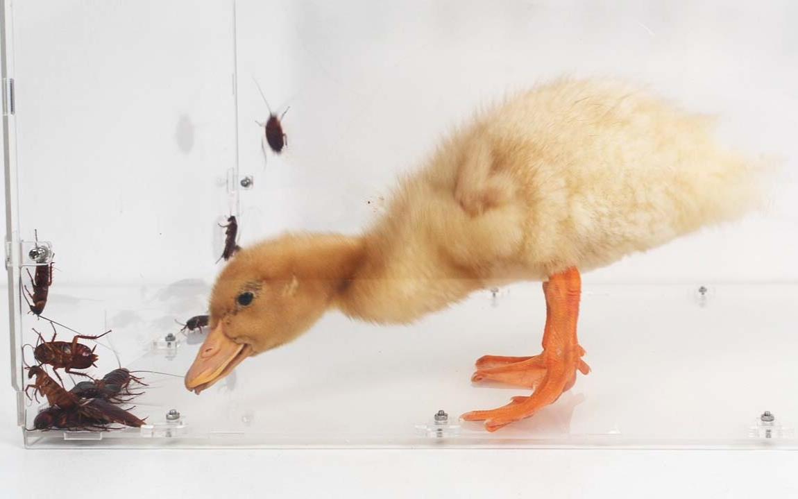 一只小黄鸭放进蟑螂堆里,小强惨遭团灭!