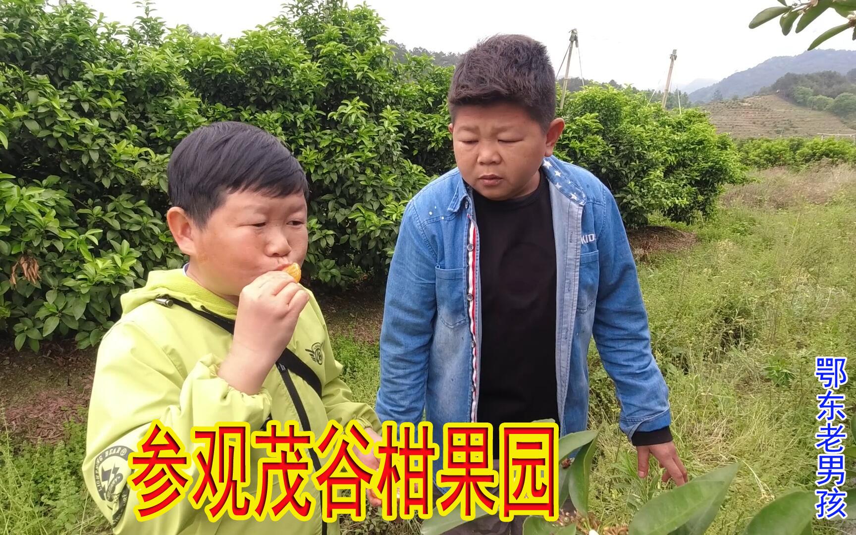 小六带老男孩参观茂谷柑果园,老男孩一激动说错话了,被小六取笑