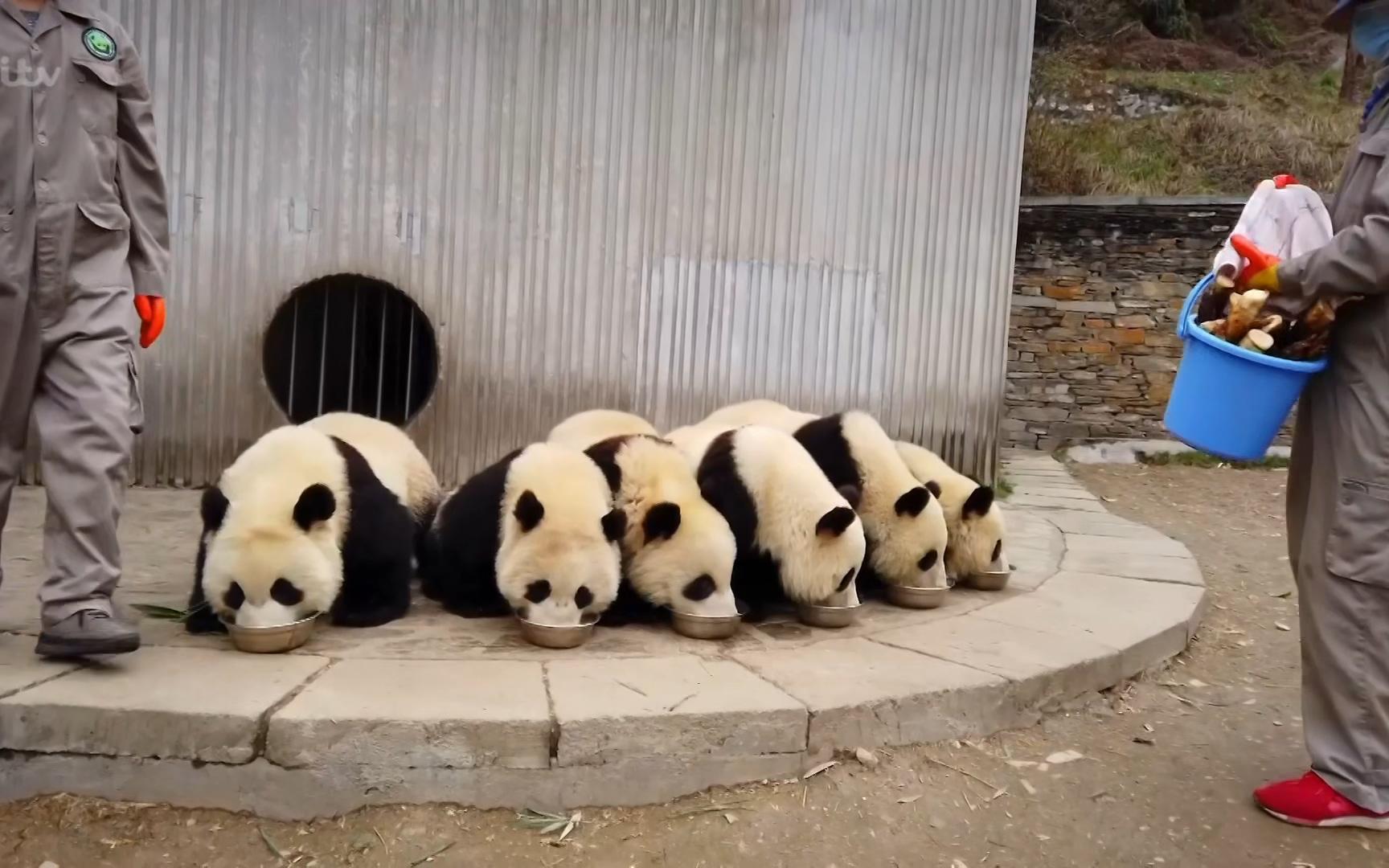 纪录片.ITV.中国熊猫.2021[高清][英字]