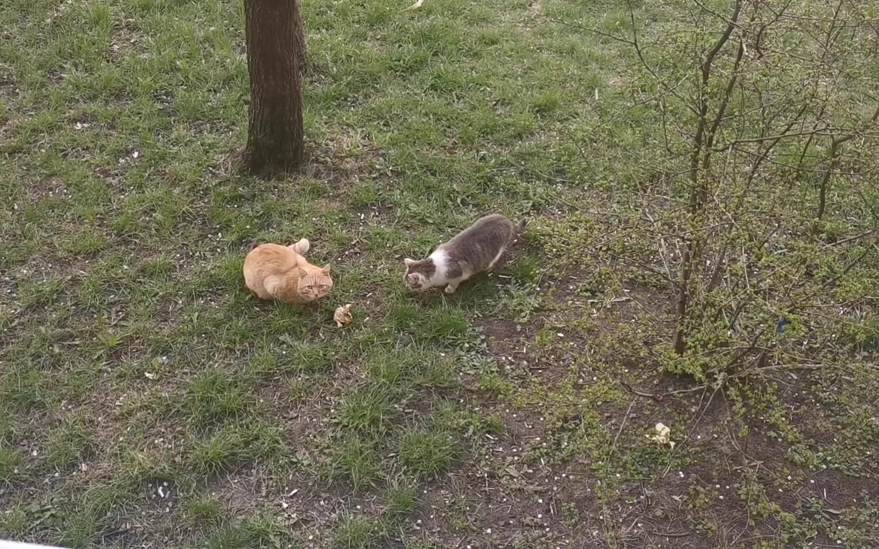 [海外拍摄]两猫一鸡
