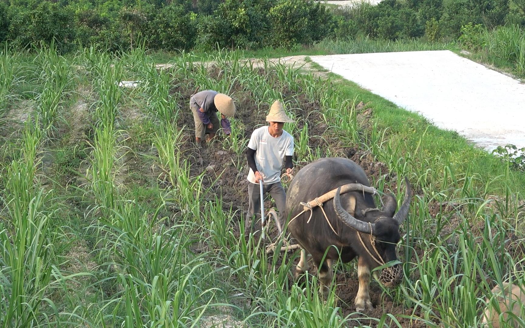 小明和姑父帮人犁地赚钱,一天能挣一百多,一般人真不愿意干