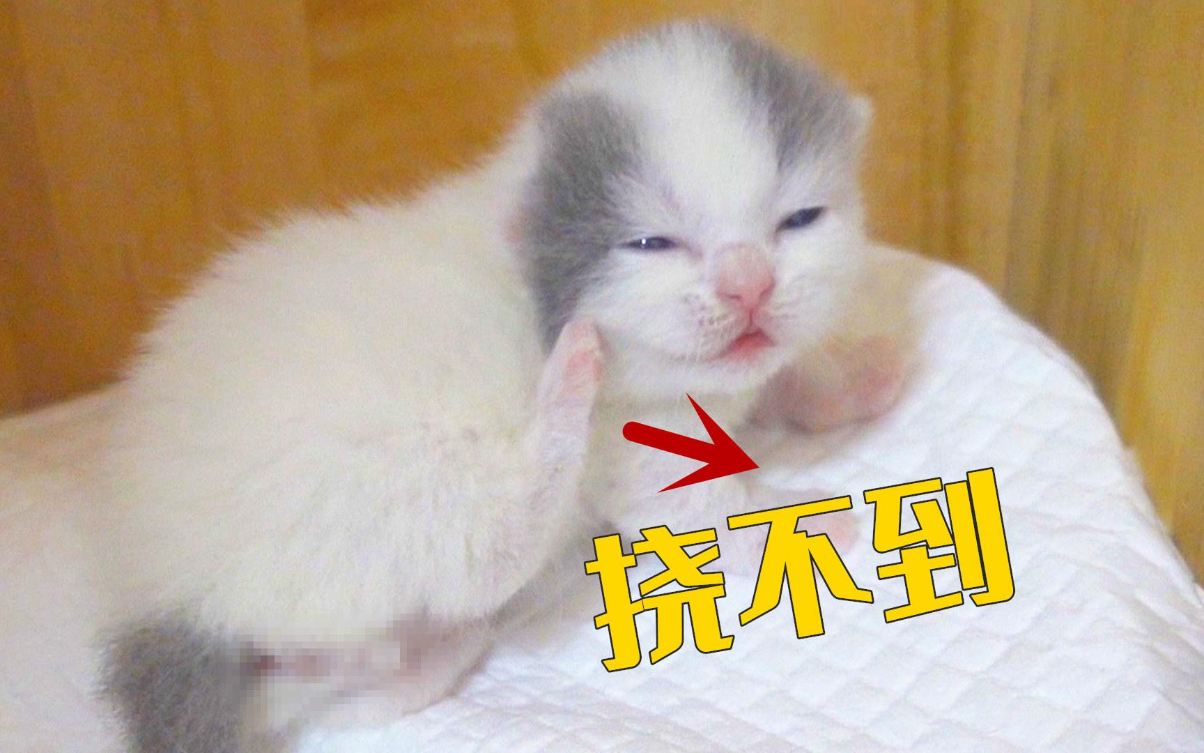 小奶猫学妈妈挠痒痒,结果腿短碰不到,一脸傻样!