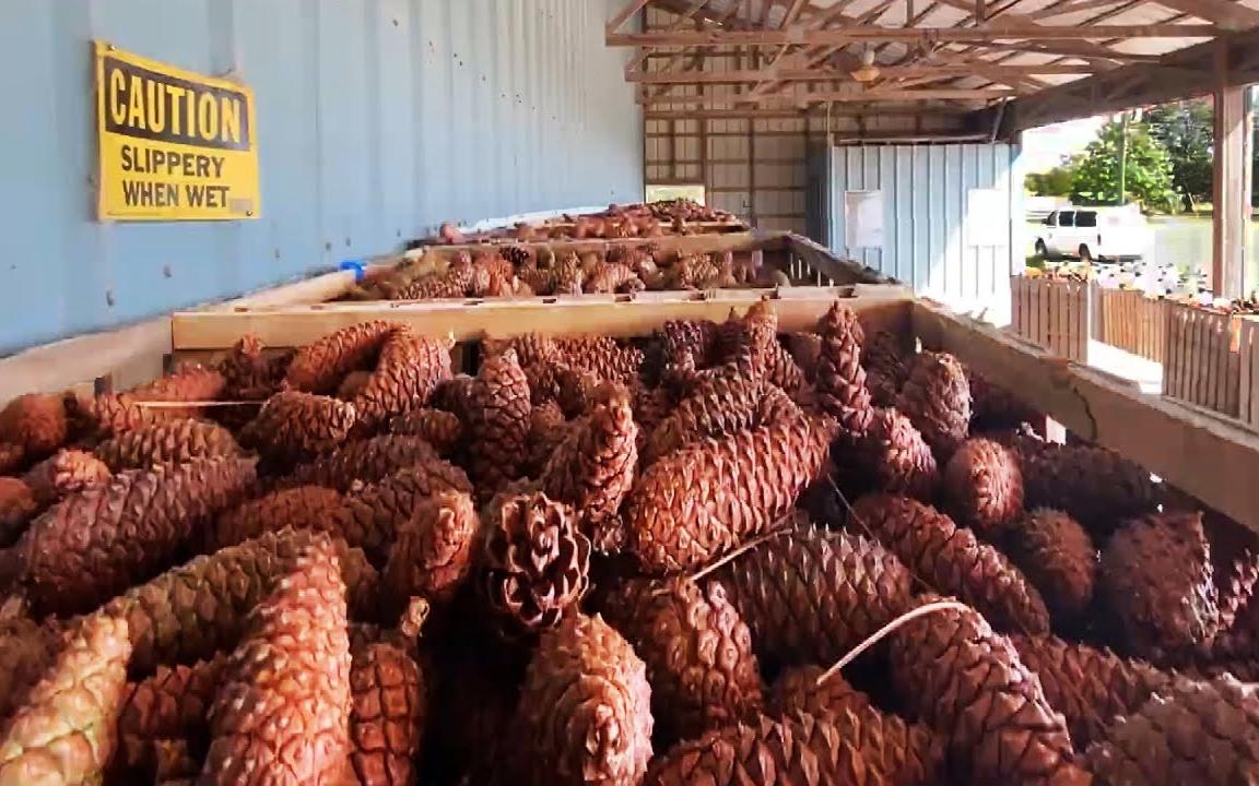 原来我们在超市购买的松子是这样种植和收获的,松子种植收获加工全过程!